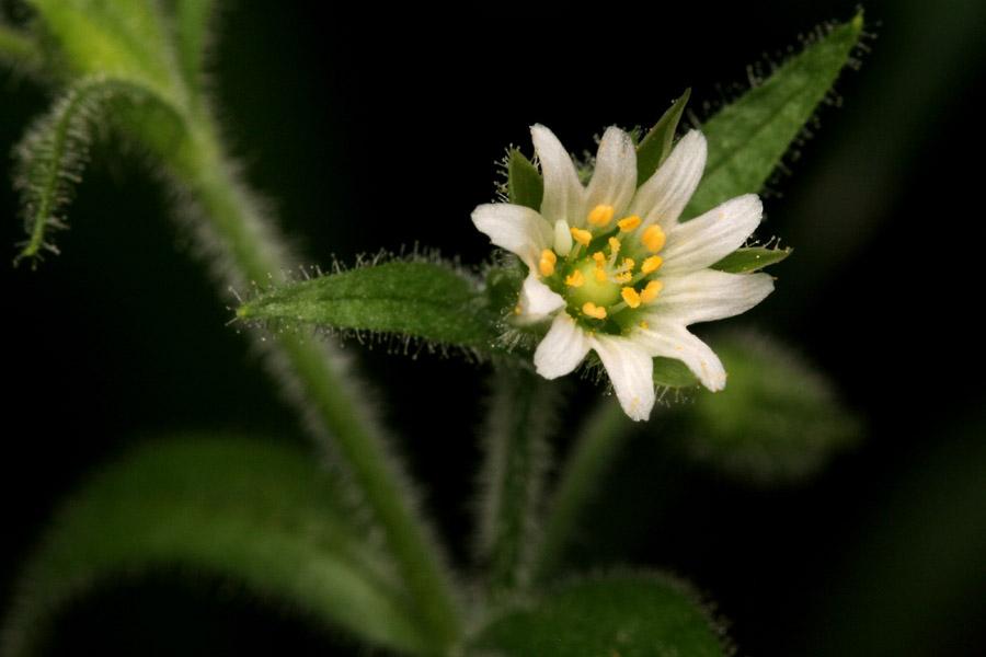 Цветок церастиум